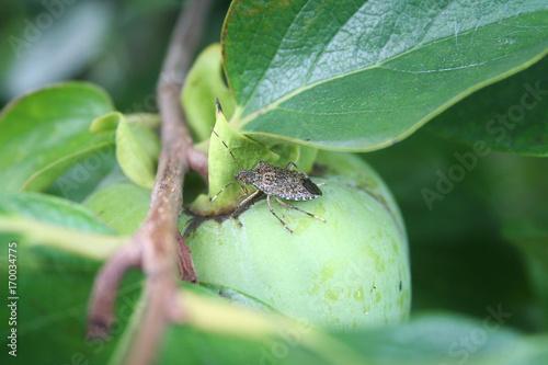 Cimice asiatica su frutto di Kaki. Halyomorpha halys
