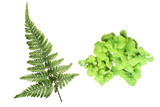 Fern leaf isolated on white background with clipping path.