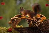 red squirrel is standing on mushroom red squirrel is standing on mushroom