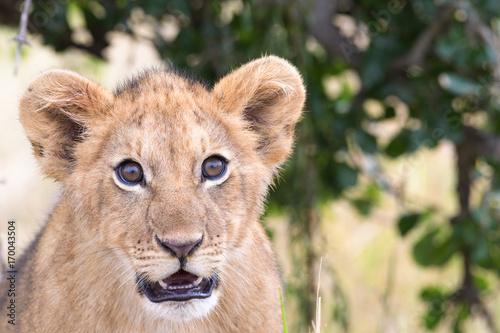 Fotobehang Lion Portrait eines Löwenbabies in freier Wildbahn