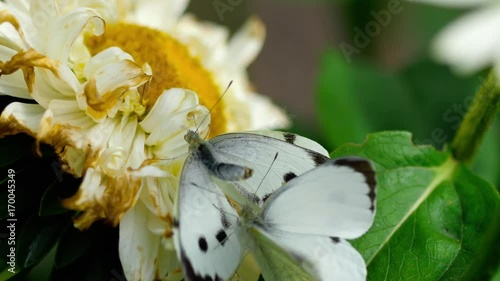 Pieris brassicae white butterfly