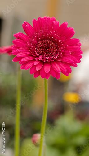Fotobehang Gerbera Red Daisy