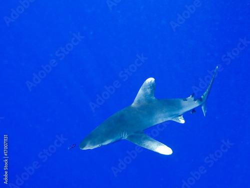 Leinwandbild Motiv White tip Shark, Carcharhinus longimanus