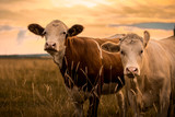 Cows in sunset - 170071737