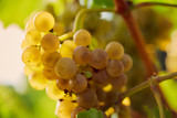 Close up of a yellow grape in the vineyard