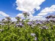 Violett blühende Pflanzen am Feld, Österreich, NIederösterrei