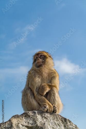 Aluminium Aap Monkeys of Gibraltar