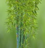 touffe de bambous, fond vert