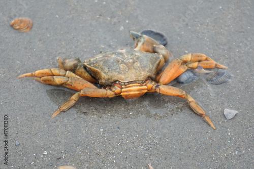 Krabbe in der Nordsee Poster