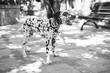 Monochrome Dalmatian dog
