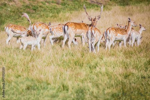 A herd of  fallow deer (Dama dama) Poster