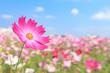 コスモス畑と青空 - 170113547