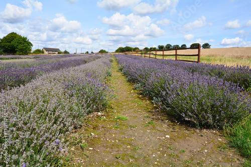 Aluminium Lavendel Rows of lavender flowers in field on farm in Hitchin Hertfordshire England