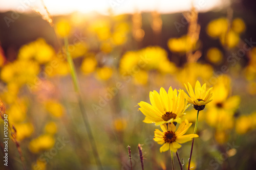 Woodland sunflowers growing at sunset on the Minnesota prairie