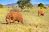 Isolated red elephant in the savannah