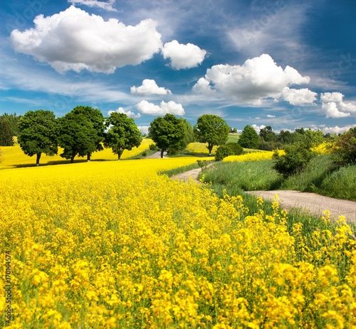 canvas print picture Field of rapeseed, canola or colza with rural road
