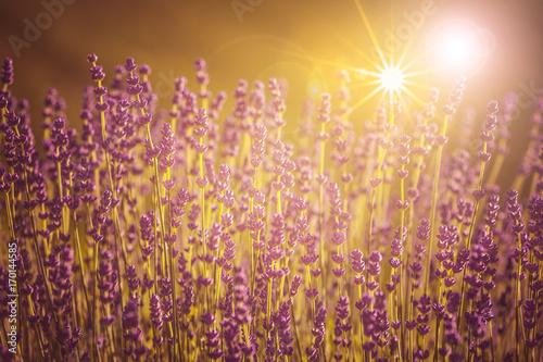 Papiers peints Lavande Lavendelblüten im Gegenlicht