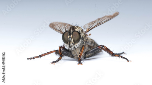 insect gadfly sits on an isolated background