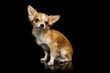 Chihuahua brown dog sitting with black background