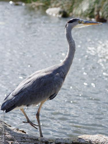 Fotobehang Zwaan Grey heron