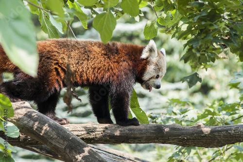 Fotobehang Panda orsetto