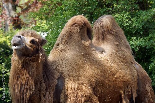 Fotobehang Kameel Trampeltier (Camelus ferus bactrianus)