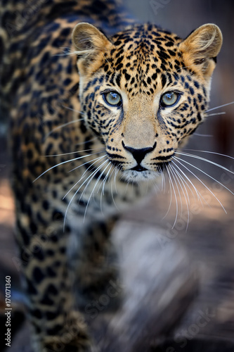 Close leopard portrait Poster