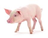 Pig on white. - 170175707