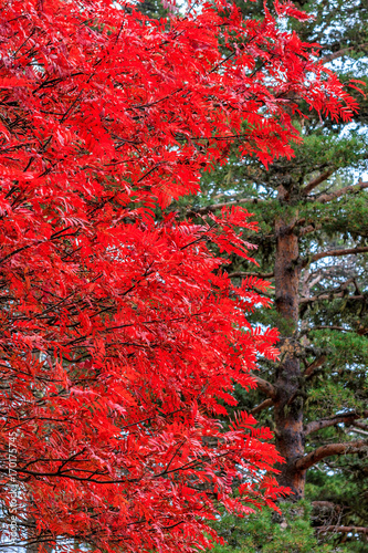 Aluminium Rood Autumn forest natural vertical background. Red leaves against green pine tree conifer