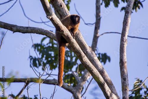 Guigo (Callicebus personatus) | Masked titi monkey photographed in Linhares, Espírito Santo - Southeast of Brazil Poster