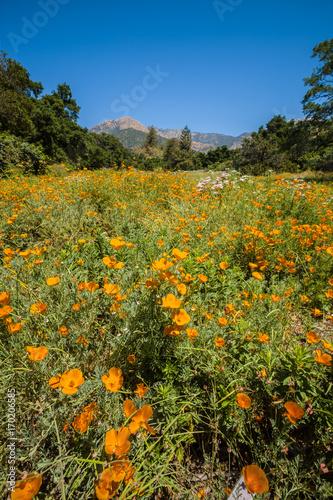 Foto op Plexiglas Klaprozen California Poppies, Santa Barbara Botanic Garden