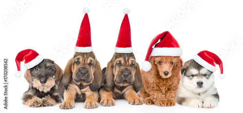 Group of purebred puppies with red christmas hats . isolated on white background