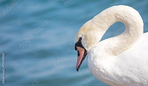 Fotobehang Zwaan ein Höckerschwan schwimmt elegant auf dem Wasser