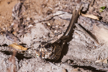 Bacurau-tesoura (Hydropsalis torquata) | Scissor-tailed Nightjar photographed in the Farm Cupido & Refugio in Linhares, Espírito Santo, Southeast of Brazil. Atlantic Forest Biome.