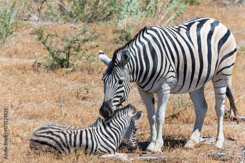 Papiers peints Hyène Zebra and baby in Africa
