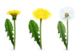 Dandelion In Different Stages Of Flowering Realistic Set