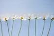 White Cosmos flowers - 170242382