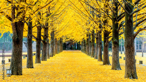 Aluminium Seoel Row of yellow ginkgo tree in Nami Island, Korea