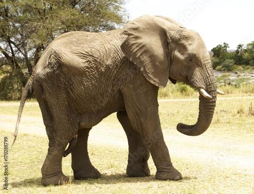 Serengeti Bull Elephant Poster