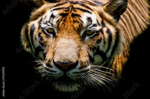 Fotobehang Tijger Tiger swimming show head and faces