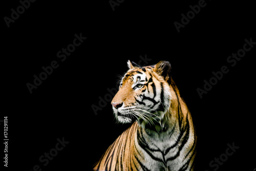 Bengal tiger sitting in the pond, Bengal tiger swimming in the pond Poster