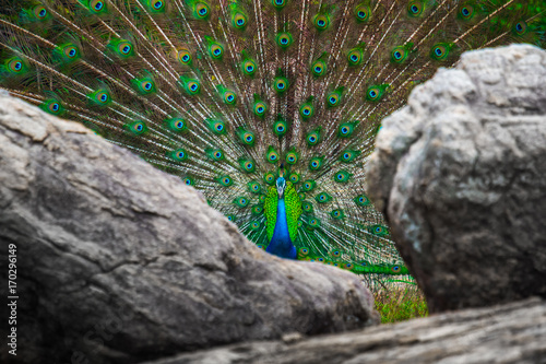 Fotobehang Pauw Peacock with open colorful tail stands between rocks