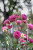 Beautiful pink dahlias. Nature background