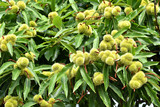 Sweet chestnuts growing on a tree - 170316541