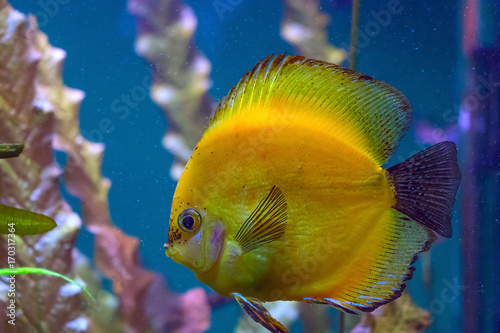 Fish exotic yellow swims in the sea. Poster