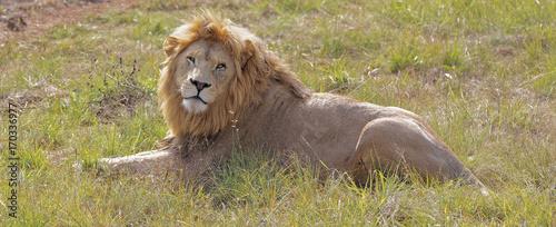 Fotobehang Lion Lion at Rest