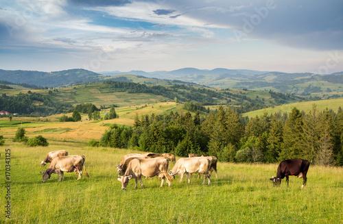 Fotobehang A herd of cows grazing in a meadow in a mountainous area
