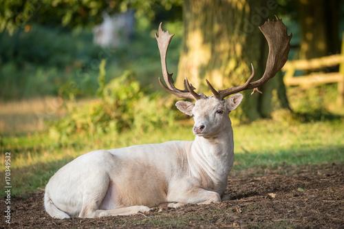 Fotobehang Hert common deer