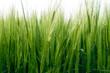 Grünes Getreide Gras