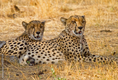 Close up of Two Cheetahs resting on the African Plains in Hwange, Zimbabwe